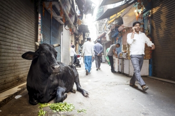 Cow in a back street, Old Delhi
